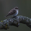 Gråfluesnapper / Spotted Flycatcher<br /> Linnesstranda, Lier 13.5.2013<br /> Canon 5D Mark II + EF 100-400 mm 4,5-5,6 L @ 400 mm