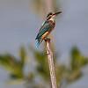 Isfugl / Common Kingfisher<br /> Laem Pak Bia, Thailand 28.1.2020<br /> Canon 5D Mark IV + EF 500mm f/4L IS II USM + 1.4x