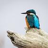 Isfugl / Common Kingfisher<br /> Linnesstranda, Lier 27.9.2020<br /> Canon  5D Mark IV + EF 500mm f/4L IS II USM + 2x Ext
