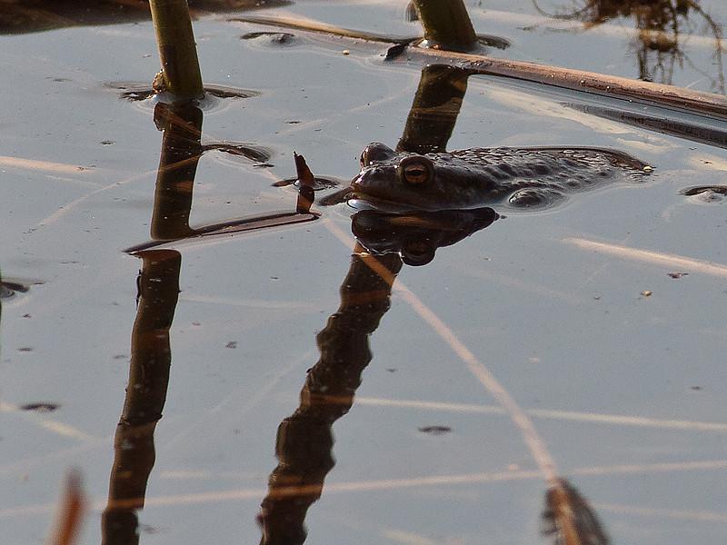 Padde / Toad<br /> Linnesstranda, Lier 23.4.2011<br /> Canon EOS 50D + EF 400 mm 5.6
