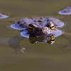 Padde / Toad<br /> Linnesstranda, Lier 1.5.2012<br /> Canon EOS 7D + EF 400 mm 5,6 L