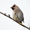Sidensvans / Bohemian Waxwing <br /> Linneslia, Lier 30.10.2016<br /> Canon 7D Mark II + Tamron 150 - 600 5,0 - 6,3 G2