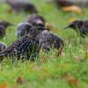 Stær / European Starling<br /> Jensvoll, Lier 20.9.2014<br /> Canon EOS 7D + Tamron 150 - 600 mm @ 375 mm