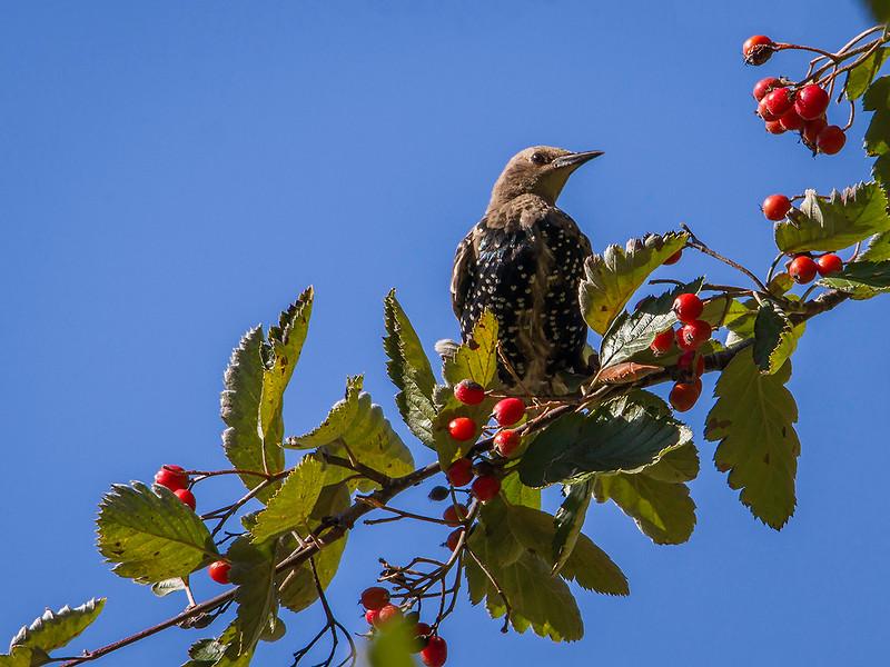 Stær / European Starling<br /> Linnesstranda, Lier 14.9.2014<br /> Canon EOS 7D + Tamron 100 - 600 mm 5,0 - 6,3