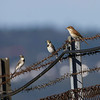 Tornskate / Red-backed Shrike<br /> Linnesstranda, Lier 10.8.2014<br /> Canon EOS 7D + Tamron 150 - 600 mm 5,0 - 6,3