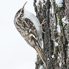 Trekryper / Tree Creeper<br /> Linnesstranda, Lier 16.1.2016<br /> Canon 7D Mark II + Tamron 150 - 600 mm 5,0 - 6,3