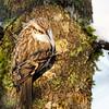 Trekryper / Tree Creeper<br /> Linnesstranda, Lier 3.1.2021<br /> Canon 5D Mark IV + EF500mm f/4L IS II USM