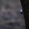 Trekryper / Tree Creeper<br /> Linnesstranda, Lier 13.12.2020<br /> Canon 5D Mark IV + EF500mm f/4L IS II USM