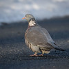Ringdue / Common Wood-Pigeon <br /> Linnesstranda, Lier 11.3.2017<br /> Canon 7D Mark II + Tamron 150 - 600 mm 5,0 - 6,3 G2