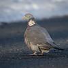 Ringdue / Common Wood-Pigeon <br /> Linnesstranda, Lier 11.3.2017<br /> Canon 7D Mark II + Tamron 150 - 600 mm 5,0 - 6,3 G2