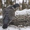 Ringdue / Common Wood-Pigeon <br /> Linneslia, Lier 2.4.2006<br /> Canon EOS 20D + EF 400 mm 5,6 L