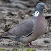 Ringdue / Common Wood-Pigeon <br /> Linnesstranda, Lier 2.7.2011<br /> Canon EOS 50D + EF 400 mm 5.6 L