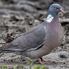 Ringdue / Common Wood-Pigeon <br /> Linnesstranda, Lier 2.7.2011<br /> Canon EOS 50D + EF 400 mm 5.6 L