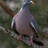 Ringdue / Common Wood-Pigeon <br /> Linneslia, Lier 2.4.2017<br /> Canon 7D Mark II + Tamron 150 - 600 mm 5,0 - 6,3 G2