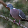 Ringdue / Common Wood-Pigeon <br /> Linneslia, Lier 2.4.2017<br /> Canon 7D Mark II + Tamron 150 - 600 mm 5,0 - 6,3 G2