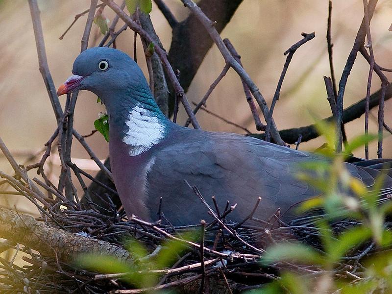 Ringdue / Common Wood-Pigeon <br /> Linnesstranda, Lier 1.5.2009<br /> Canon EOS 50D + EF 400 mm 5.6 L