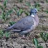 Ringdue / Common Wood-Pigeon <br /> Linnesstranda, Lier 9.6.2013<br /> Canon EOS 7D + EF 100-400 mm 4,5-5,6 L