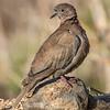 Tyrkerdue / Eurasian Collared-Dove <br /> Gran Canaria, Spania 27.12.2014<br /> Canon 7D Mark II + Tamron 150 - 600 mm @ 552 mm