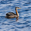 Gråstrupedykker/ Red-necked Grebe <br /> Lille Vildmose, Danmark 12.7.2014<br /> Canon EOS 7D + Tamron 150 - 600 mm 5,0 - 5,6