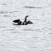 Storlom / Black-throated Diver<br /> Linnesstranda, Lier 23.5.2020<br /> Canon  5D Mark IV + EF 600 mm f/4L IS USM + 1.4x Ext II