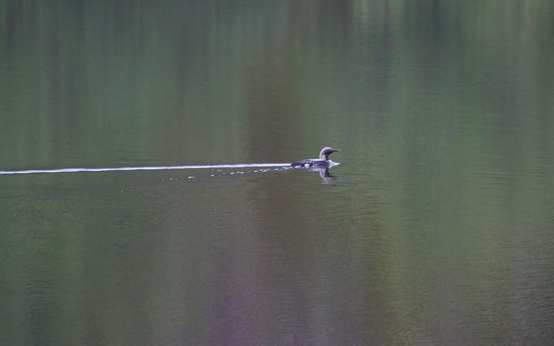 Storlom / Blackthroated Diver<br /> Pasvik, Sør-Varanger 6.7.2013<br /> Canon EOS 7D + EF 100-400 mm 4,5-5,6 L