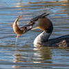 Toppdykker / Great Crested Grebe<br /> Østensjøvannet, Oslo 3.4.2015<br /> Canon 7D Mark II + Tamron 150 - 600 mm 5,0 - 6,3
