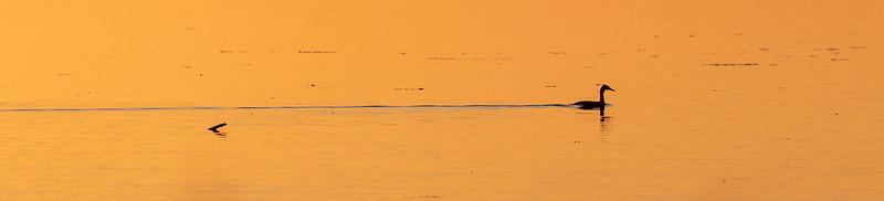 Toppdykker / Great Crested Grebe<br /> Krankesjön, Sverige 24.7.2018<br /> Canon 5D Mark IV + EF 500mm f/4L IS II USM + 1.4x Ext