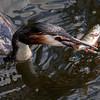 Toppdykker / Great Crested Grebe<br /> Hornborgasjön, Sverige 21.5.2009<br /> Canon EOS  50D + EF 400 mm 5.6 L