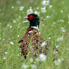 Fasan / Pheasant<br /> Jensvoll, Lier 26.6.2016<br /> Canon 7D Mark II + Tamron 150 - 600 mm 5,0 - 6,3
