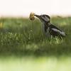 Flaggspett / Great Spotted Woodpecker<br /> Jensvoll, Lier 11.9.2016<br /> Canon 7D Mark II + Tamron 150 - 600 mm 5,0 - 6,3