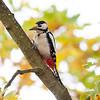 Flaggspett / Great Spotted Woodpecker <br /> Linneslia, Lier 20.10.2013<br /> Canon EOS 5D Mark II + EF 100-400 mm 4,5-5,6 L