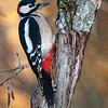 Flaggspett / Great Spotted Woodpecker <br /> Linnesstranda, Lier 30.11.2013<br /> Canon EOS 5D Mark II + EF 100-400 mm 4,5-5,6 L