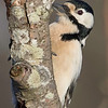Flaggspett / Great Spotted Woodpecker <br /> Linnesstranda, Lier 24.1.2015<br /> Canon EOS 7D Mark II + Tamron 150 - 600 mm 5,0 - 6,3 @ 483 mm