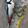 Flaggspett / Great Spotted Woodpecker <br /> Linnesstranda, Lier 15.3.2015<br /> Canon EOS 7D Mark II + Tamron 150 - 600 mm 5,0 - 6,3 @ 500 mm