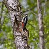 Flaggspett / Great Spotted Woodpecker<br /> Linnesstranda, Lier 13.5.2012<br /> Canon EOS 7D + EF 400 mm 5,6 L