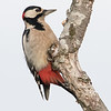Flaggspett / Great Spotted Woodpecker<br /> Linnesstranda, Lier 1.11.2015<br /> Canon 7D Mark II + Tamron 150 - 600 mm 5,0 - 6,3