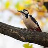 Flaggspett / Great Spotted Woodpecker<br /> Linneslia, Lier 19.10.2013<br /> Canon EOS 5D Mark II + EF 100-400 mm 4,5-5,6 L