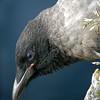 Kråke / Hooded Crow <br /> Runde, Møre og Romsdal 22.6.2003<br /> Nikon Coolpix 4500 + Swarovski ST80HD telescope