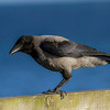 Kråke / Hooded Crow<br /> Hals, Danmark 11.7.2014<br /> Canon EOS 7D + Tamron 150  - 600 mm 5,0 - 6.3 mm