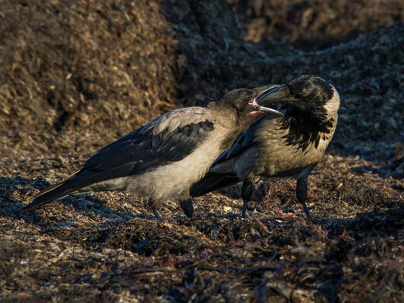 Kråke / Hooded Crow<br /> Morups tånge, Sverige 22.7.2014<br /> Canon EOS 7D + Tamron 150 - 600 mm 5,0 - 6,3