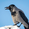 Kråke / Hooded Crow<br /> Mile gjenvinningsstasjon, Nedre Eiker 24.1.2015<br /> Canon 7D Mark II + Tamron 150 - 600 mm
