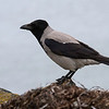 Kråke / Hooded Crow<br /> Hals, Danmark 9.4.2014<br /> Canon EOS 7D + EF 100-400 mm 4,5-5,6 L