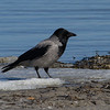 Kråke / Hooded Crow<br /> Hou, Danmark 1.4.2013<br /> Canon EOS 7D + EF 100-400 mm 4,5-5,6 L