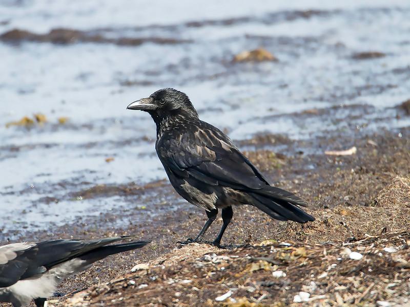 Kråke-Svartkråke / Hooded-Carrion Crow hybrid<br /> Agernæs havn, Fyn, Danmark 17.7.2014<br /> Canon EOS 7D + Tamron 150 - 600 mm 5,0 - 6,3