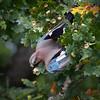 Nøtteskrike / Eurasian Jay<br /> Jensvoll, Lier 5.10.2014<br /> Canon EOS 5D Mark II + Tamron 150 - 600 mm 5,0 - 6,3