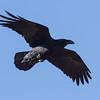 Ravn / Common Raven<br /> Fuerteventura, Spania 27.12.2012<br /> Canon EOS 7D + EF 100-400 mm 4,5-5,6 L