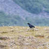 Ravn / Common Raven<br /> Gimsøy, Lofoten 11.7.2015<br /> Canon 7D Mark II + Tamron 150 - 600 mm 5,0 - 6,3