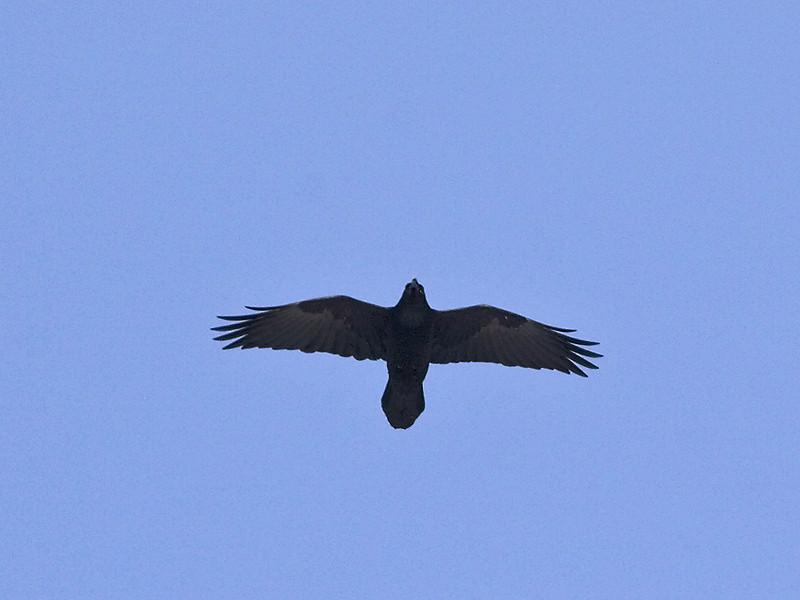 Ravn / Common Raven <br /> Elveparken, Drammen 4.3.2006<br /> Canon EOS 20D + EF 400 mm 5,6 L