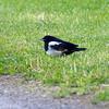 Skjære / Magpie<br /> Linnesstranda, Lier 2.6.2012<br /> Canon EOS 7D + EF 100-400 mm 4,5-5,6 L