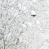 Skjære / Eurasian Magpie<br /> Linnesstranda, Lier 12.11.2016<br /> Canon 7D Mark II + Tamron 150 - 600 mm 5,0 - 6,3 G2
